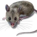 Cách đuổi chuột